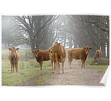 Cows on the road Poster