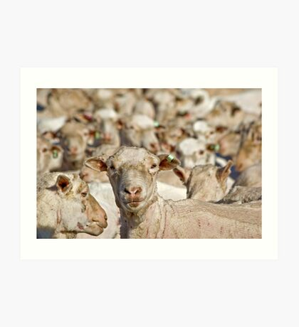 Sheep having just been shorn Art Print