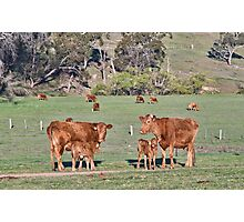 cows in the field on the farm Photographic Print