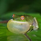 Green Tree Frog - Litoria Caerula - All puffed up by clearviewstock