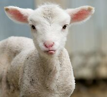 a very cute and adorable few day old lamb by clearviewstock