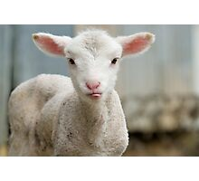 a very cute and adorable few day old lamb Photographic Print