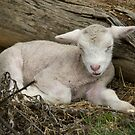 Just napping...young lamb takes a short sleep. by clearviewstock