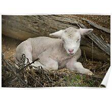 Just napping...young lamb takes a short sleep. Poster
