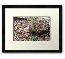 Australian Echidna  Framed Print
