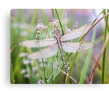 Newly emerged dragonfly #2 Canvas Print