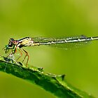 dragonfly on a leaf eating a grub by clearviewstock