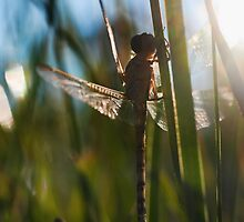 newly hatched dragonfly  by clearviewstock