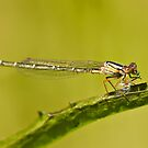 A dragonfly on a leaf eating a grub by clearviewstock