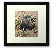 Australian Echidna 3 Framed Print