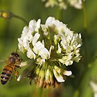 Bee on clover by clearviewstock