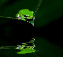 Midnight Contemplation - Litoria Fallax by clearviewstock
