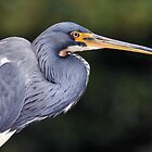 Tricolored Heron by Dennis Stewart
