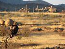 Red-tailed Hawk ~ Texas Canyon, AZ viewing by Kimberly Chadwick