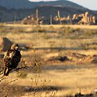 Red-tailed Hawk ~ Texas Canyon, AZ viewing by Kimberly P-Chadwick