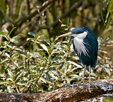 Pied Heron on a branch by clearviewstock