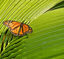 Wanderer - Monarch Butterfly on Palm Leave by clearviewstock