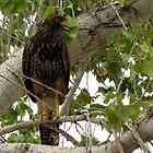 Harris's Hawk ~ Juvenille  by Kimberly Chadwick