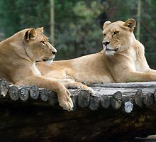Lionesses Resting by clearviewstock