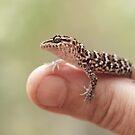 Juvenile Bynoe's Gecko - Heteronotia Binoei by clearviewstock