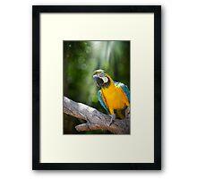 Young Blue & Gold Macaw (Ara ararauna) Framed Print