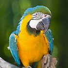 Young Blue & Gold Macaw (Ara ararauna) by clearviewstock