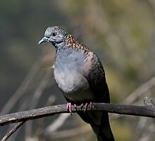 Bronzewinged Pigeon by clearviewstock