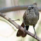 Very Young Apostlebird by clearviewstock