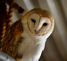 Wild Barn Owl Watching From its Perch Inside a Rustic Barn Building by HotHibiscus