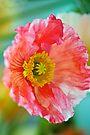 Potrait of a Poppy by Renee Hubbard Fine Art Photography