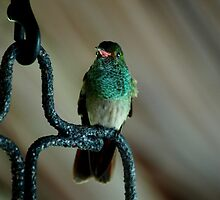 Wild Green Rufous-tailed Hummingbird on Perch by HotHibiscus