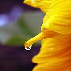 Raindrop on a Sunflower by Rodney Fagan