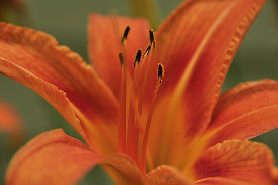 Orange Daylilly, As Is by Kim McClain Gregal