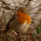 Robin Red Breast by Sarah Howarth | Photography
