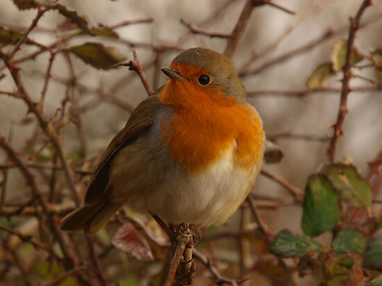 Robin Red Breast by Sarah Howarth [ Photography ]