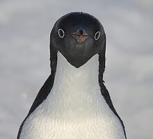 Penguin portrait by Marion Joncheres