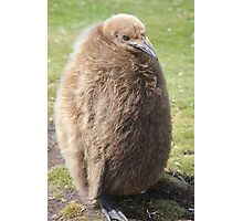King penguin chick Photographic Print