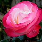 Pretty Pink Rose by ElsT