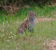 Florida Bobcat by Eaglelady