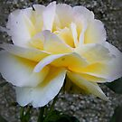 Yellow Rose by ElsT