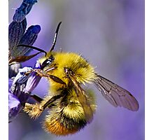 Bumble Bee on Lavender Photographic Print