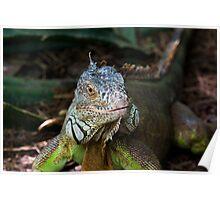 Iguana Staredown Poster