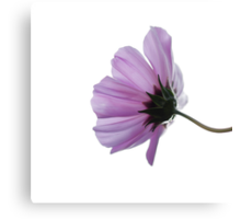 Cosmea on white Canvas Print