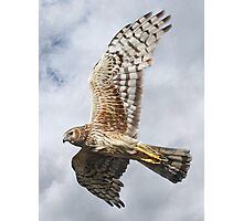 Northern Harrier - Female - Close-up Photographic Print