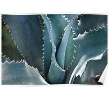 Succulents- Blue Aloe Poster
