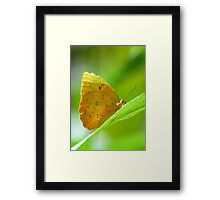 Tropical Yellow Orange Butterfly on Lime Leaf in Costa Rica Rainforest Framed Print