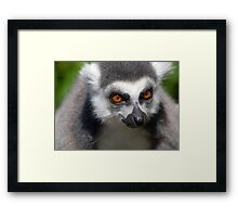 Ring Tail Lemur Face Portrait with Striking Orange Amber Eyes Framed Print