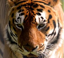 Portrait of a Striped Royal Bengal Tiger of India by HotHibiscus