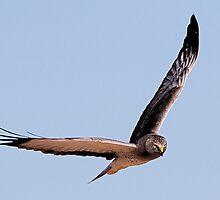 011811 Northern Harrier by Marvin Collins
