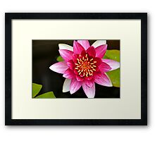 Pink Yellow Water Lily Green Lily Pads Floating on a Pond Framed Print